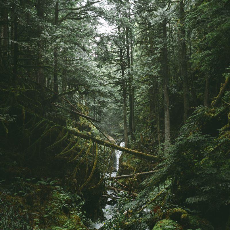Kedrų miškas